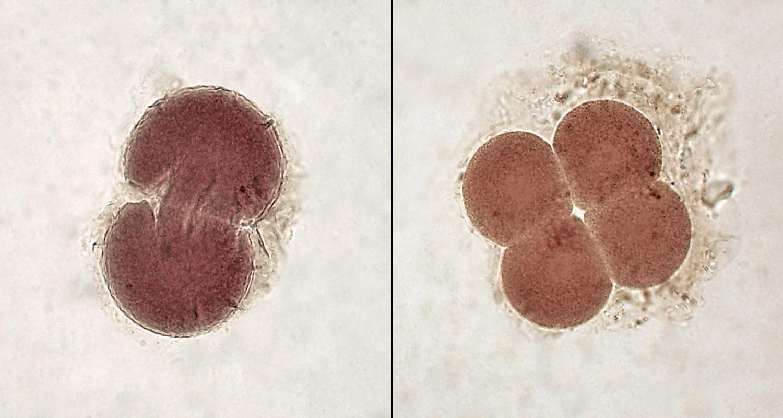 Эмбрион на стадии 2 и 4 клеток