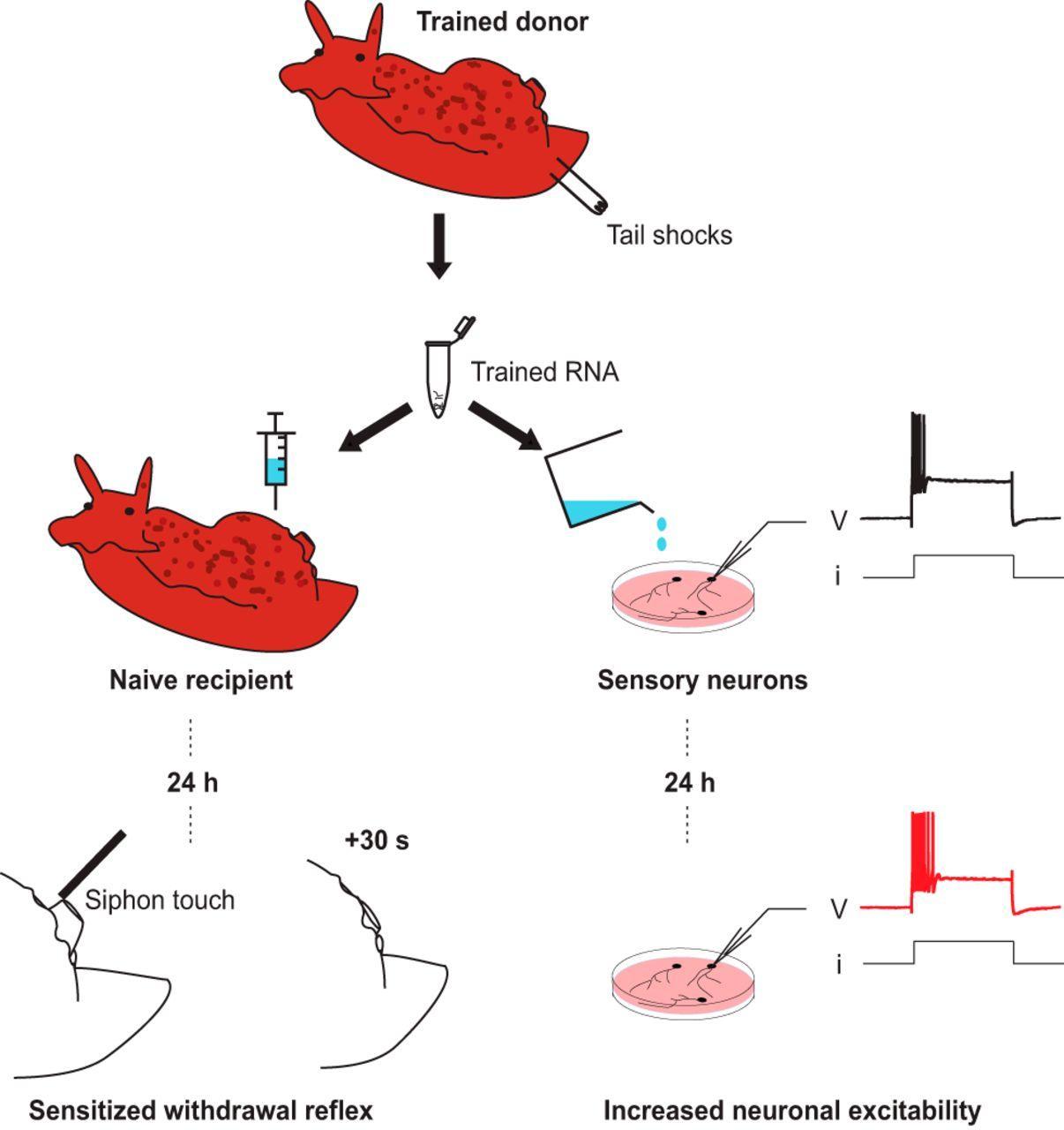 Память работает с помощью РНК