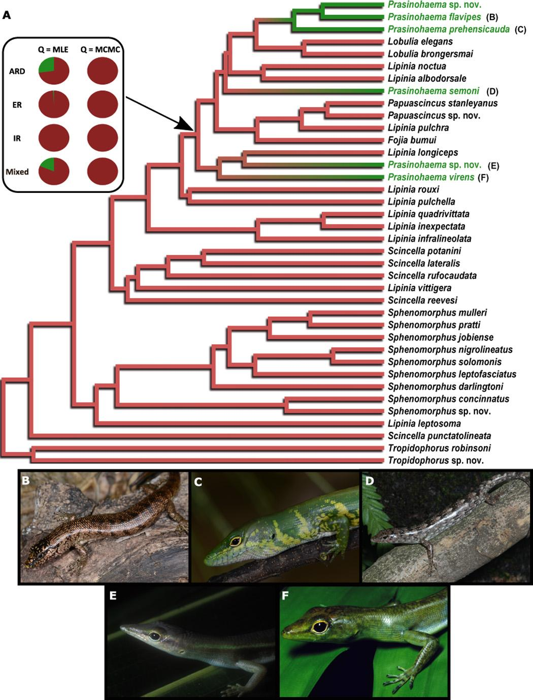 Зоологи проследили эволюцию ящериц с зеленой кровью