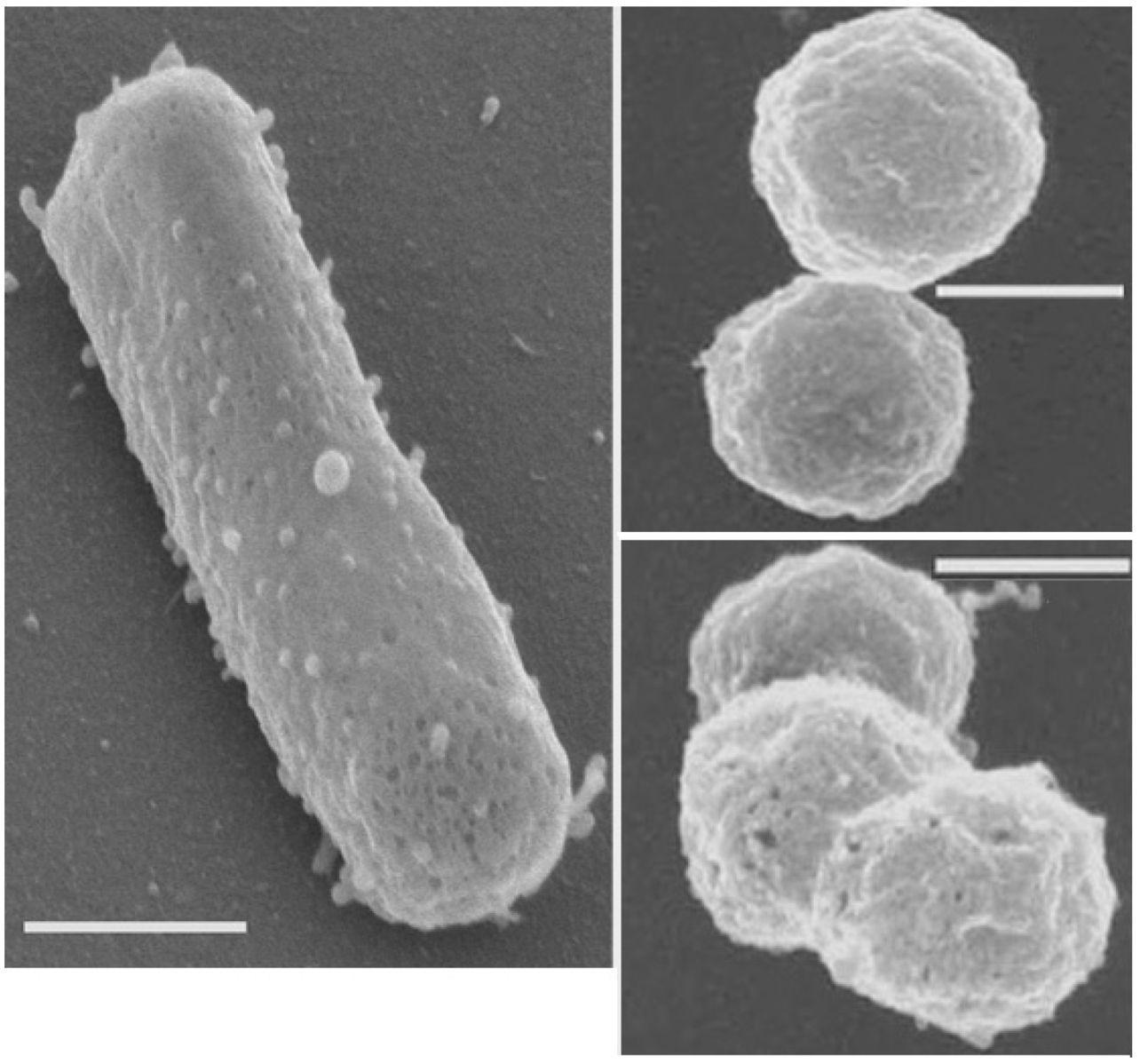 Галофильных архей удалось сохранить с помощью нейросети