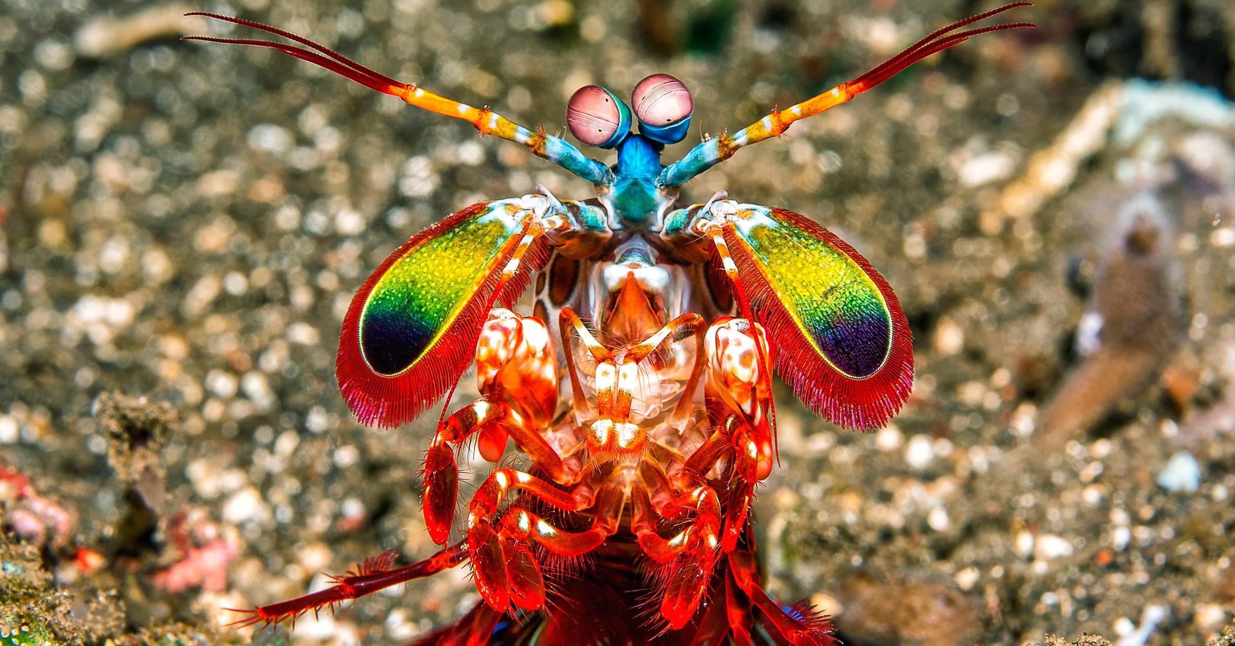Раки-богомолы способны исполнять «мертвую петлю» глазами