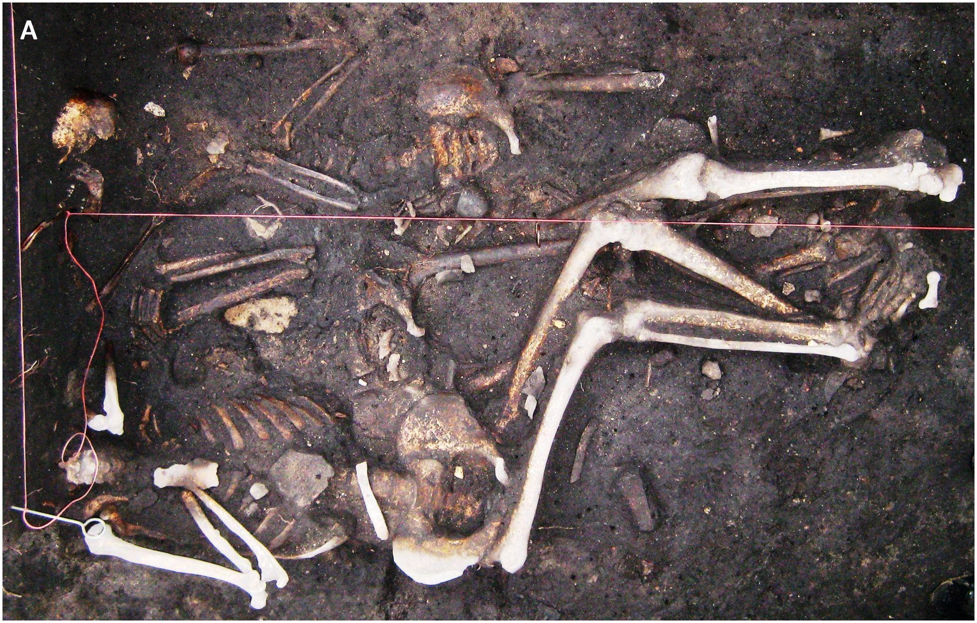 Чумная палочка одного вида смогла выжить в Европе на протяжении 300 лет