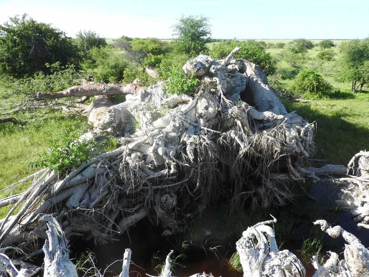 Большинство самых старых и крупных африканских баобабов погибло