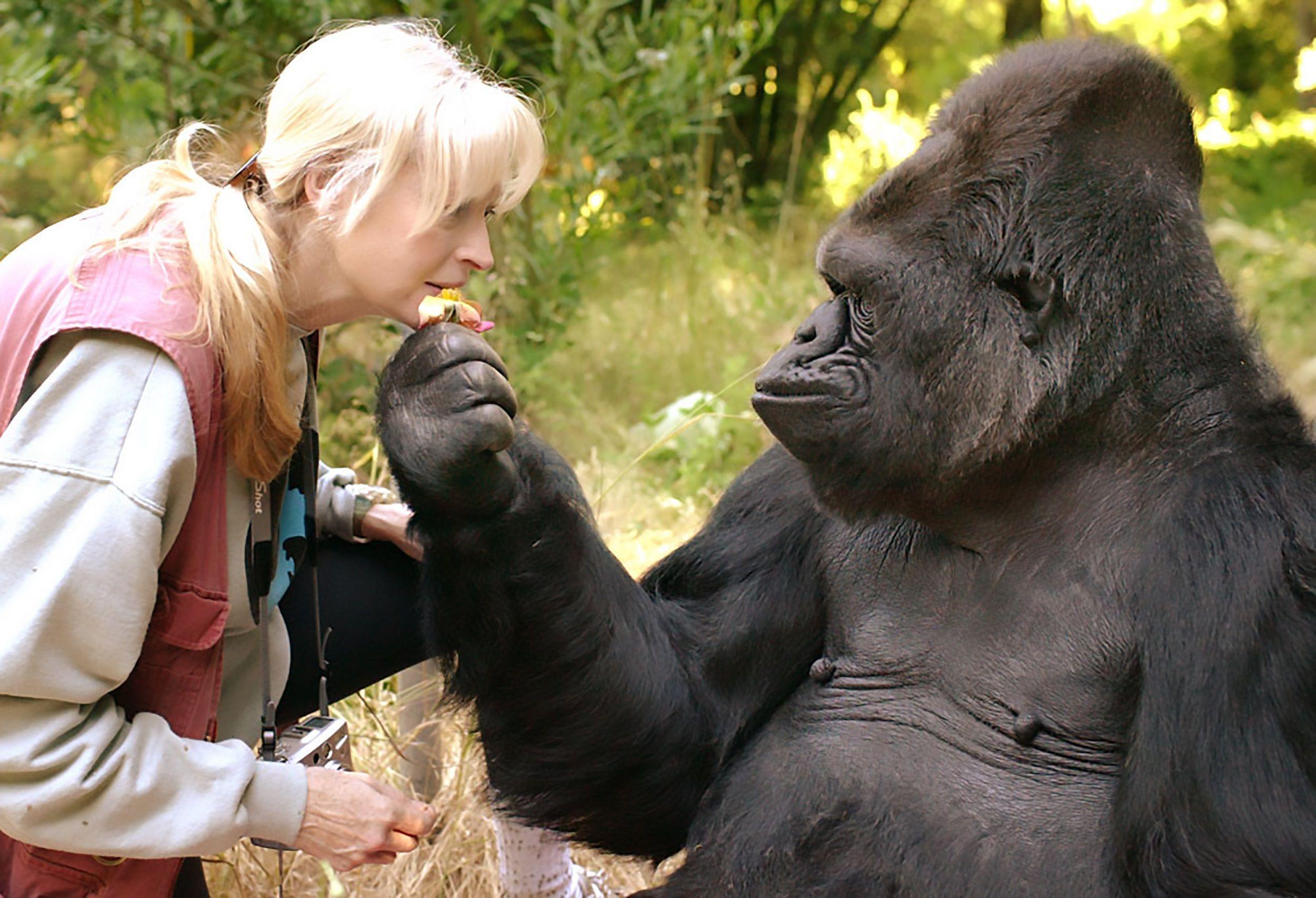 Умерла горилла Коко