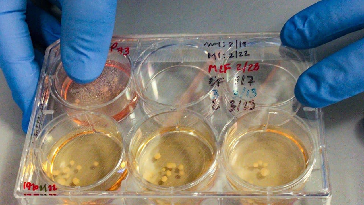 Ученые вырастили мини-мозг из клеток с неандертальской мутацией