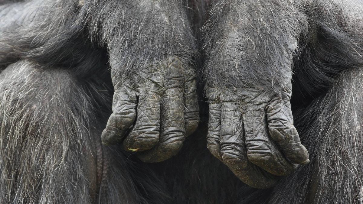 Предки людей развивали кисти рук ради извлечения костного мозга