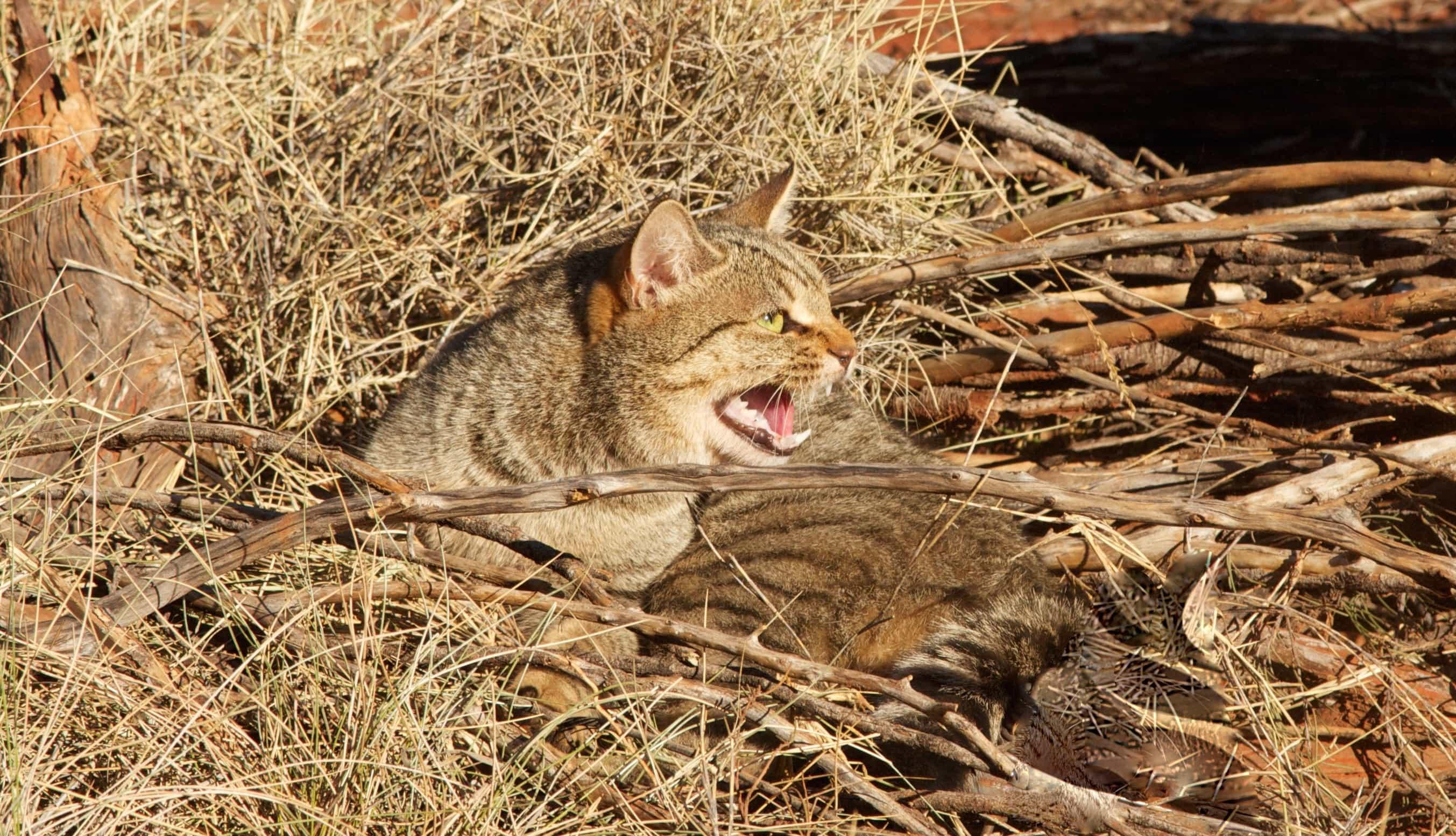 Одичавшие кошки истребляют рептилий Австралии миллионами