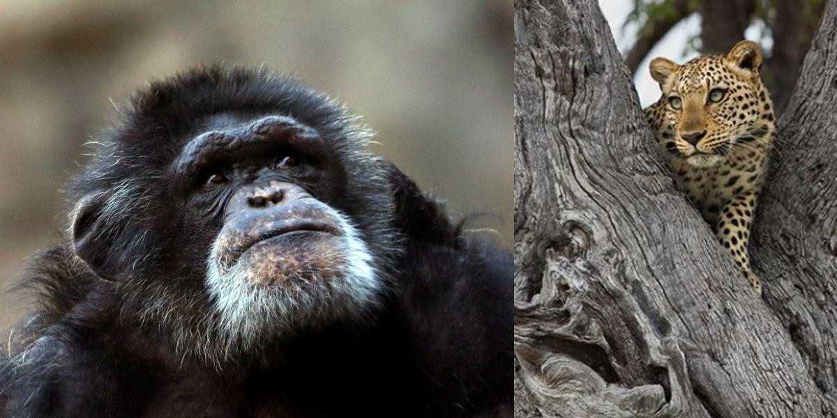 Токсоплазмоз делает поведение шимпанзе более рискованным