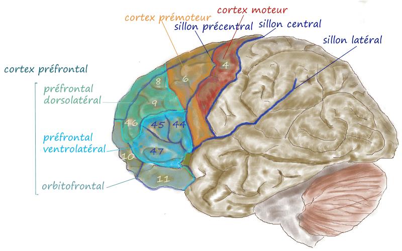 Префронтальная кора помогает преодолеть дислексию