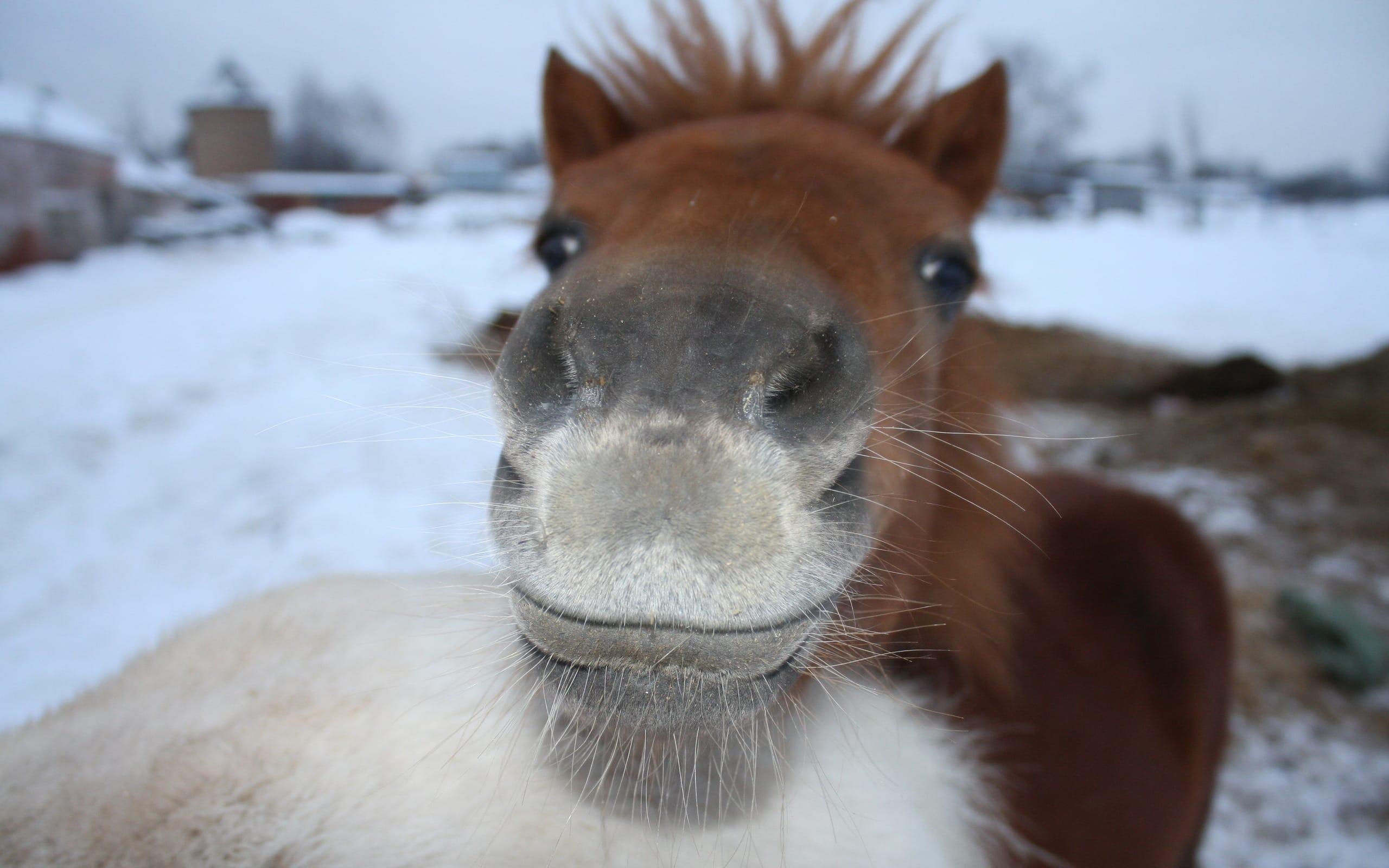 Фырканье указало на положительные эмоции у лошадей