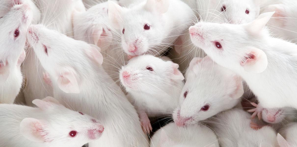 В США начали усыплять лабораторных мышей из-за нехватки научных работников