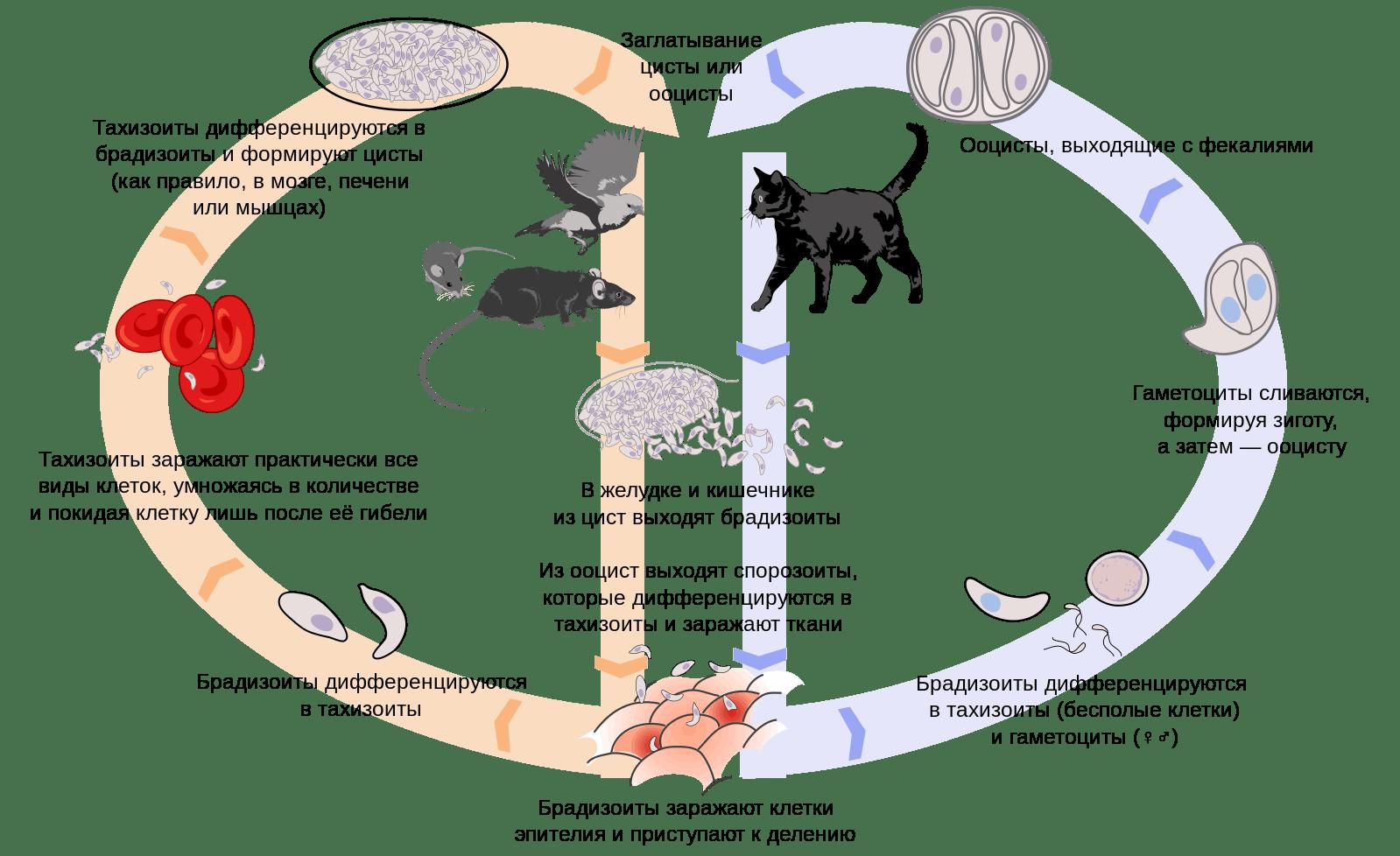 Откуда берется тяга к кошкам и сырому мясу