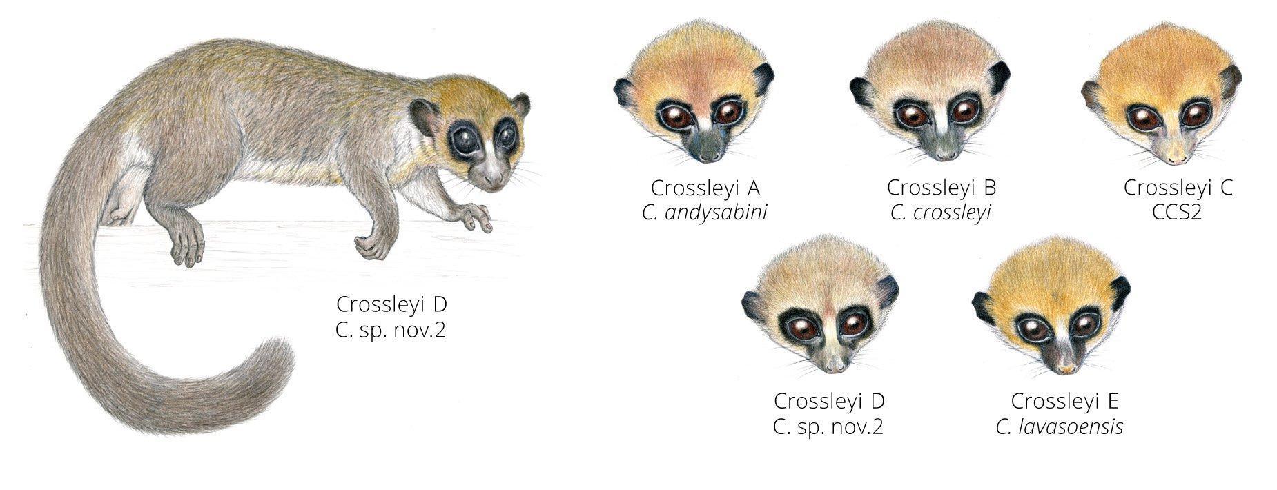 Зоологи описали новый вид лемуров