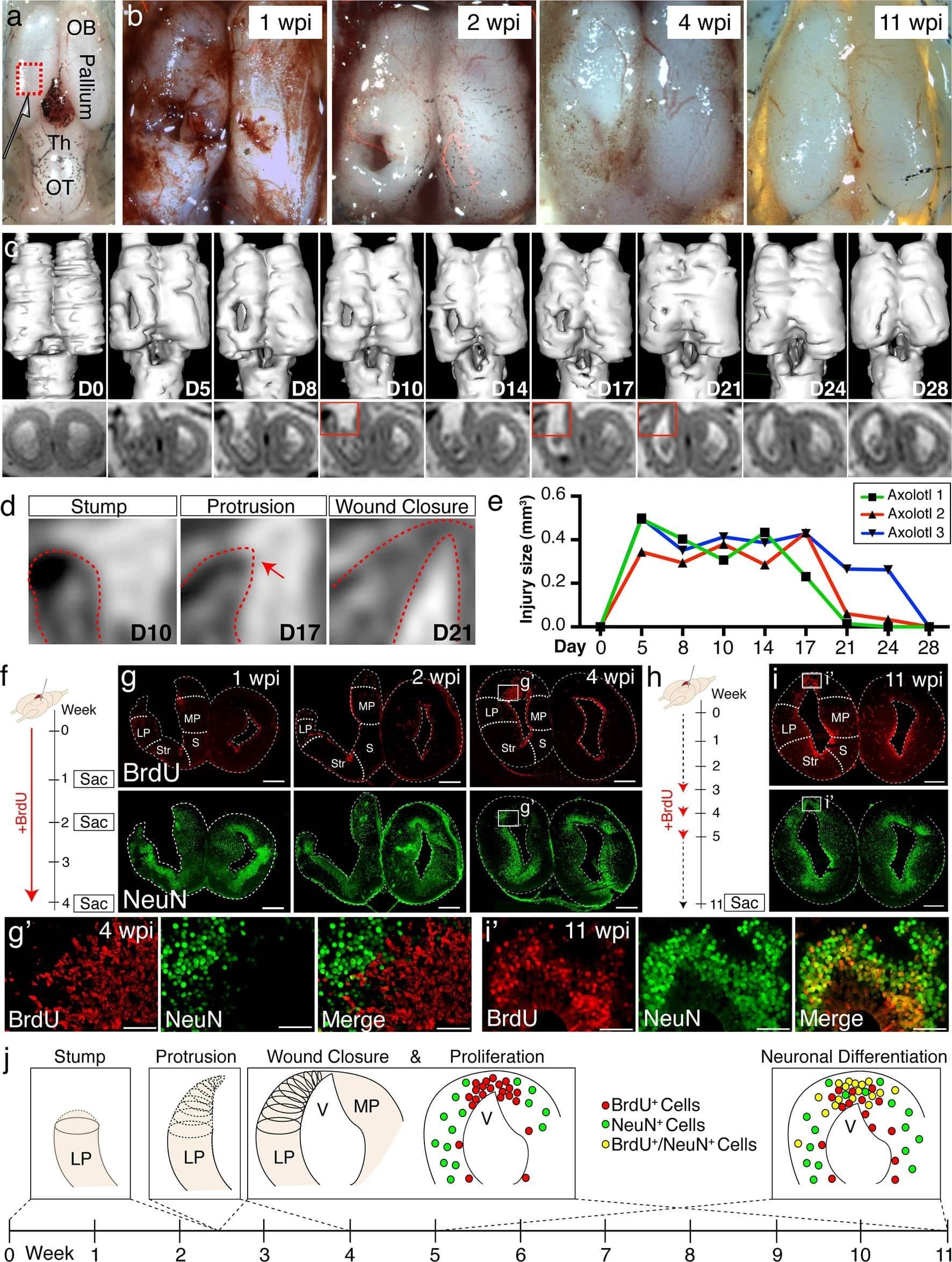 Аксолотль может не только отрастить себе мозг, но и нейронное разнообразие