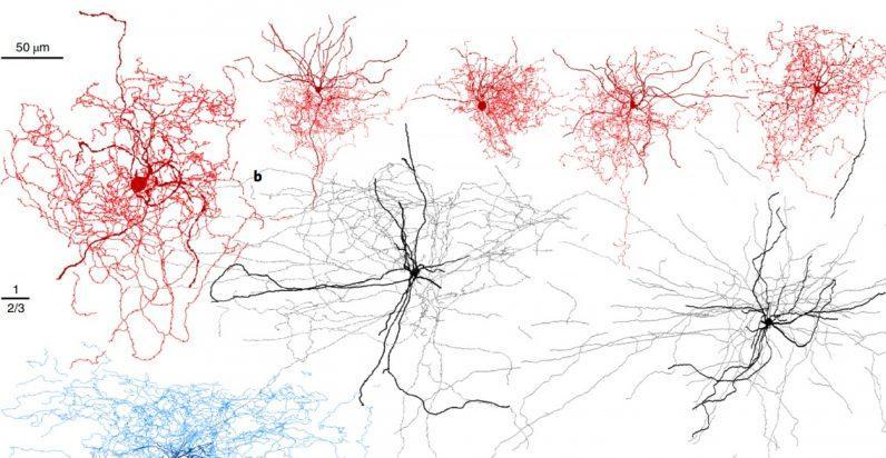 В мозге человека нашли новый вид нейронов