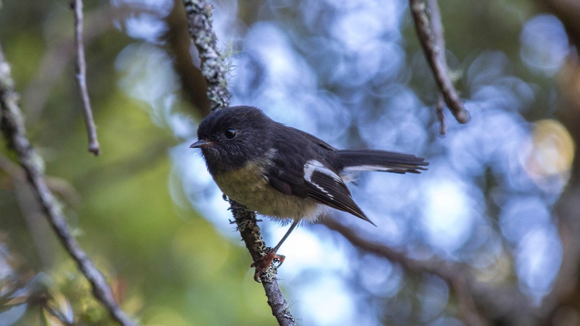 Непредсказуемая жизнь увеличила мозг островных птиц