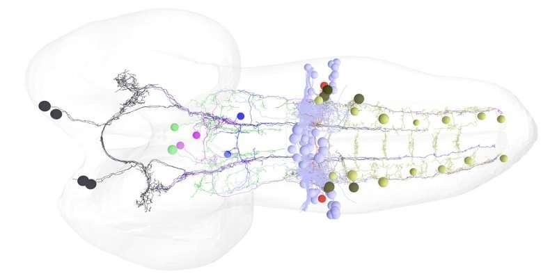 Луноходные нейроны дрозофилы удивили учёных