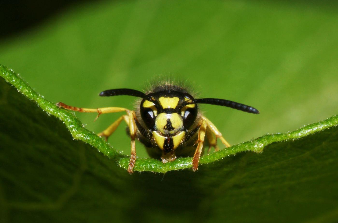Пчелы и осы распознали человеческие лица