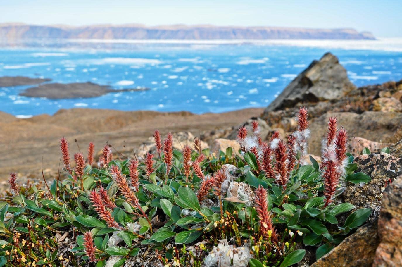 Растения заселяют потеплевшую Арктику