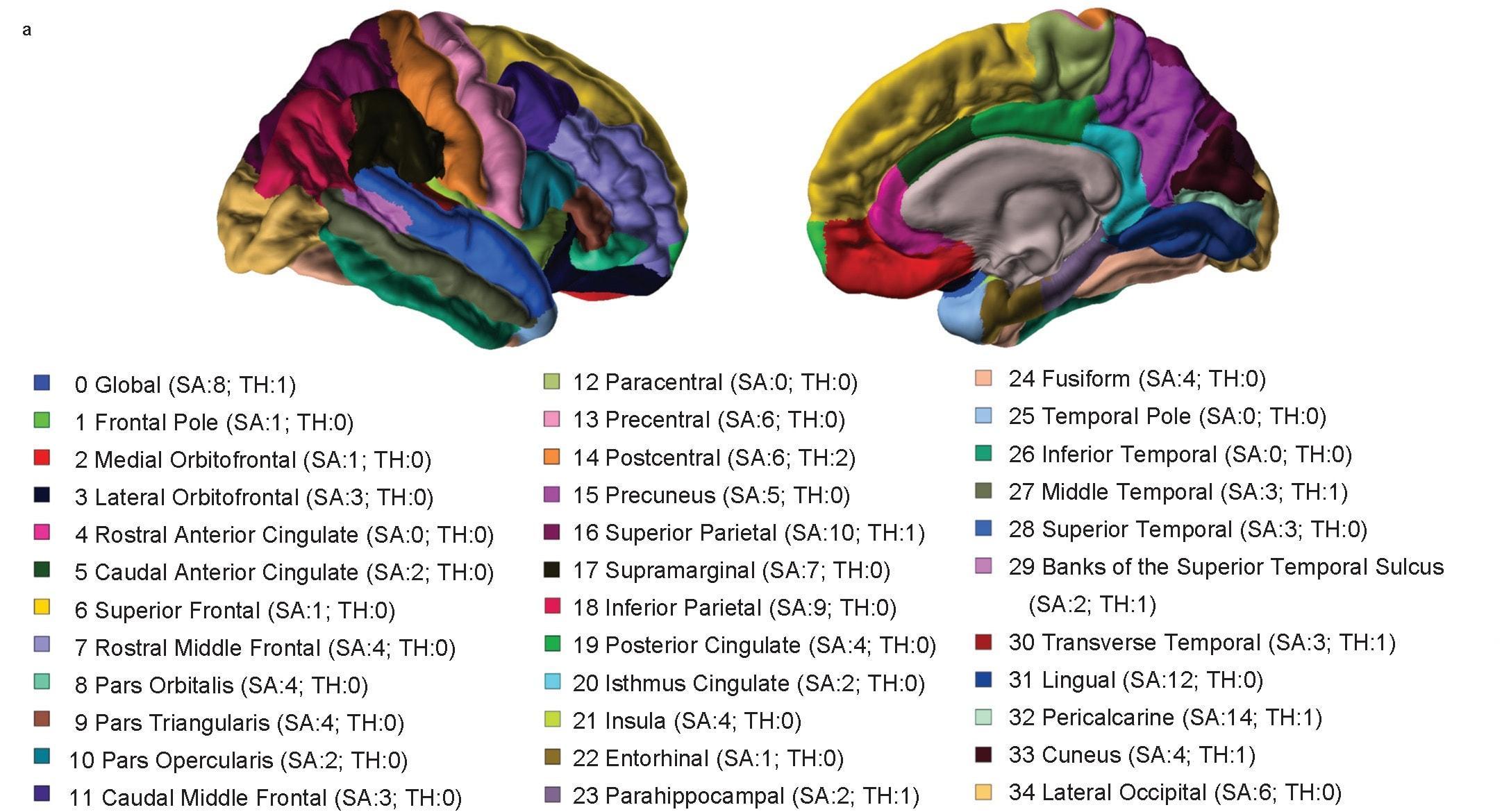 Ученые составили каталог генов-регуляторов структуры коры головного мозга