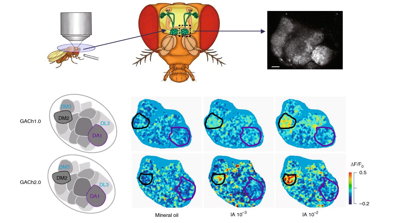 Увидеть работу синапса – найти ключ к болезни Альцгеймера