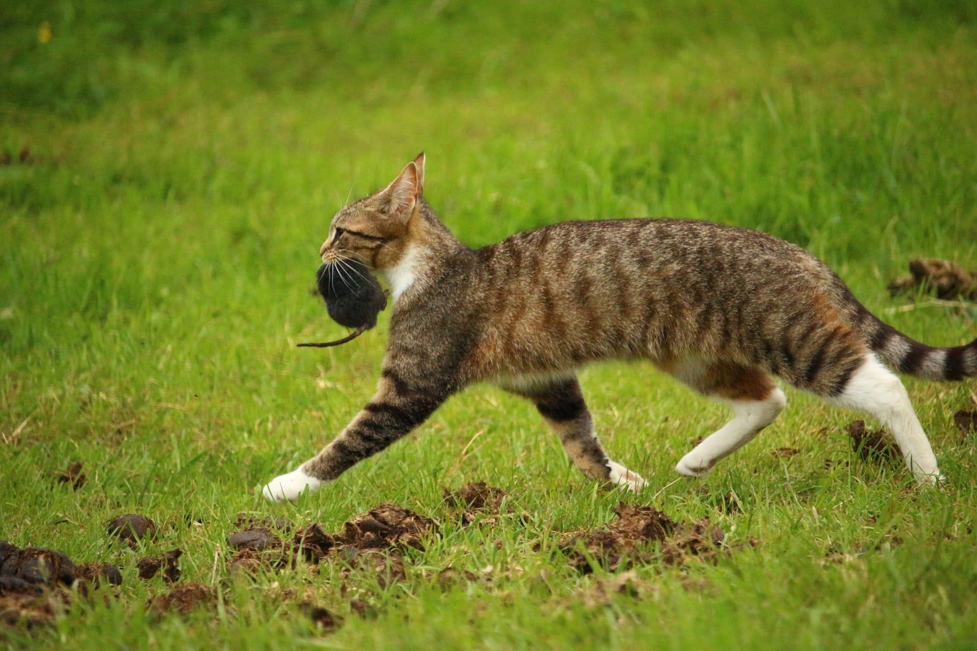 Кошки не оправдали звание эффективных охотников на крыс