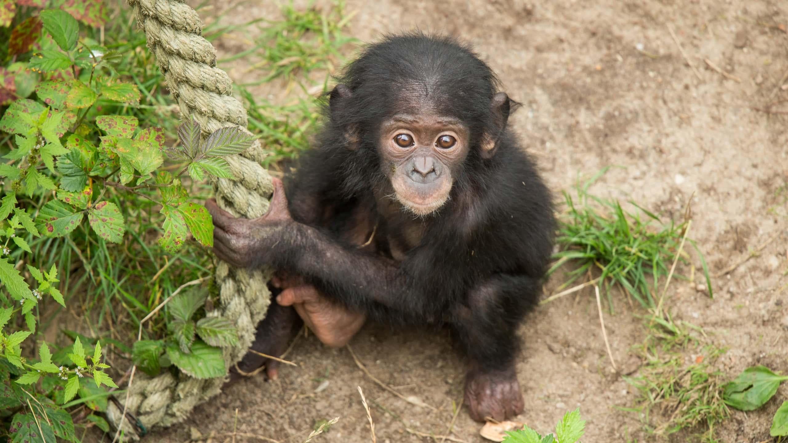 «Словарный запас» маленьких детей и человекообразных обезьян совпал на 96 процентов