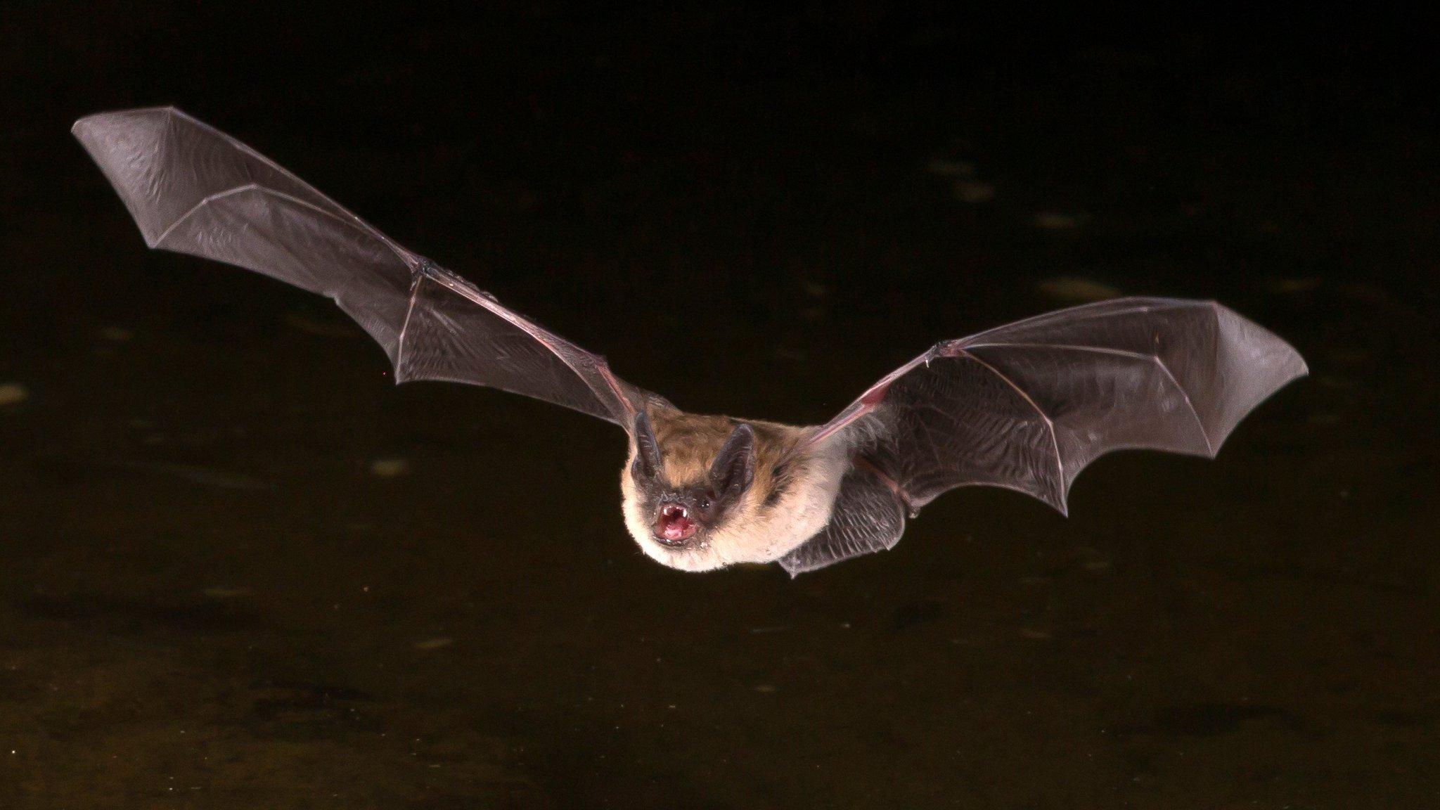 Обыкновенные вампиры оказались переносчиками бартонеллы
