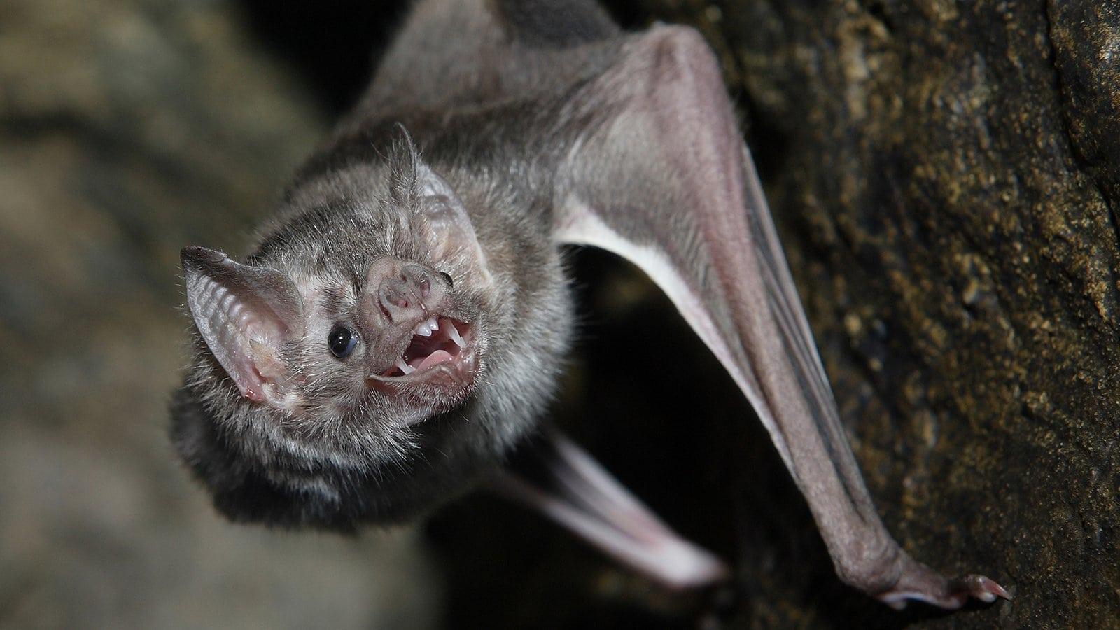 Адаптация генома и кишечного микробиома помогла обыкновенным вампирам привыкнуть к кровавой диете