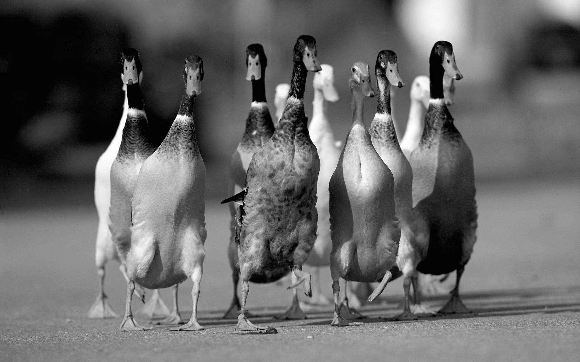 Птичий грипп научился заражать уток