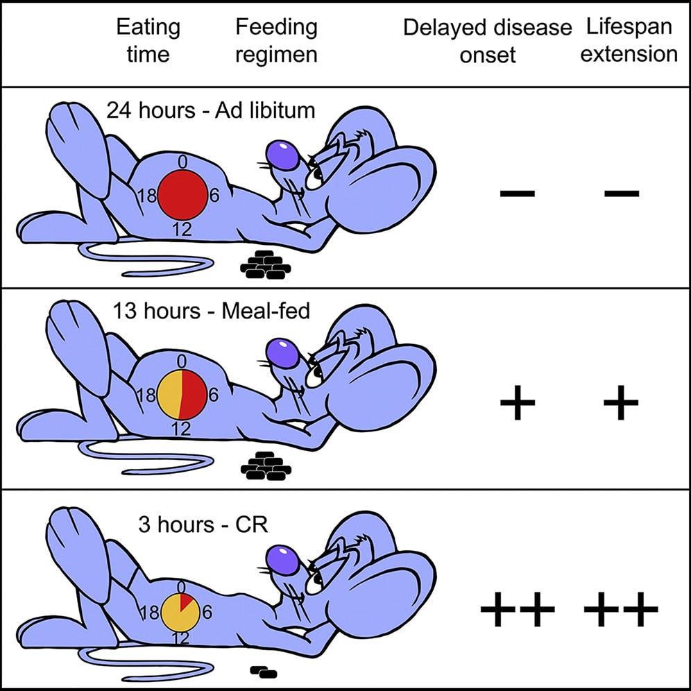 Питание раз в день продлило жизнь мышам