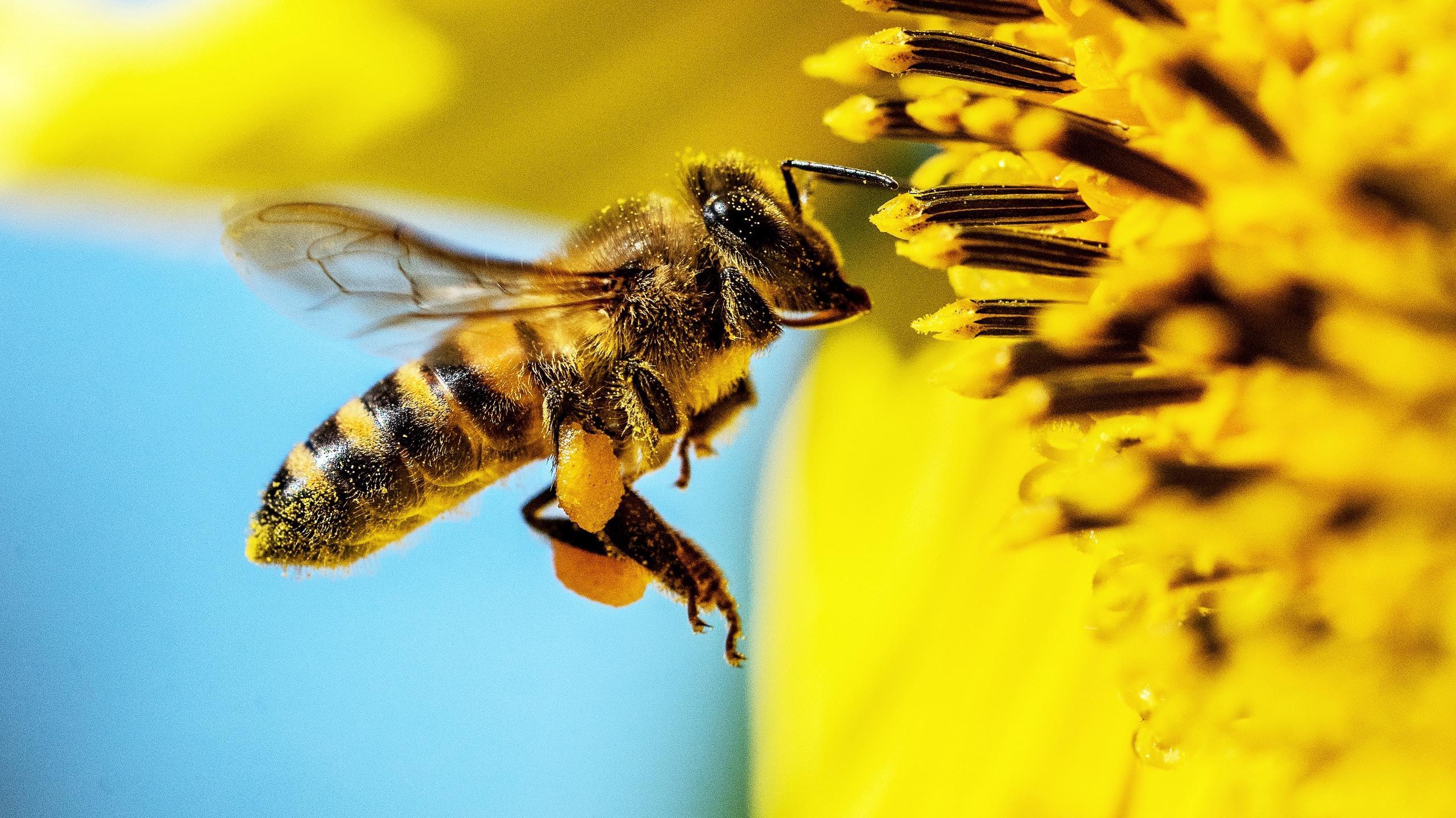 Самый распространенный гербицид подпортил пчелам микробиом