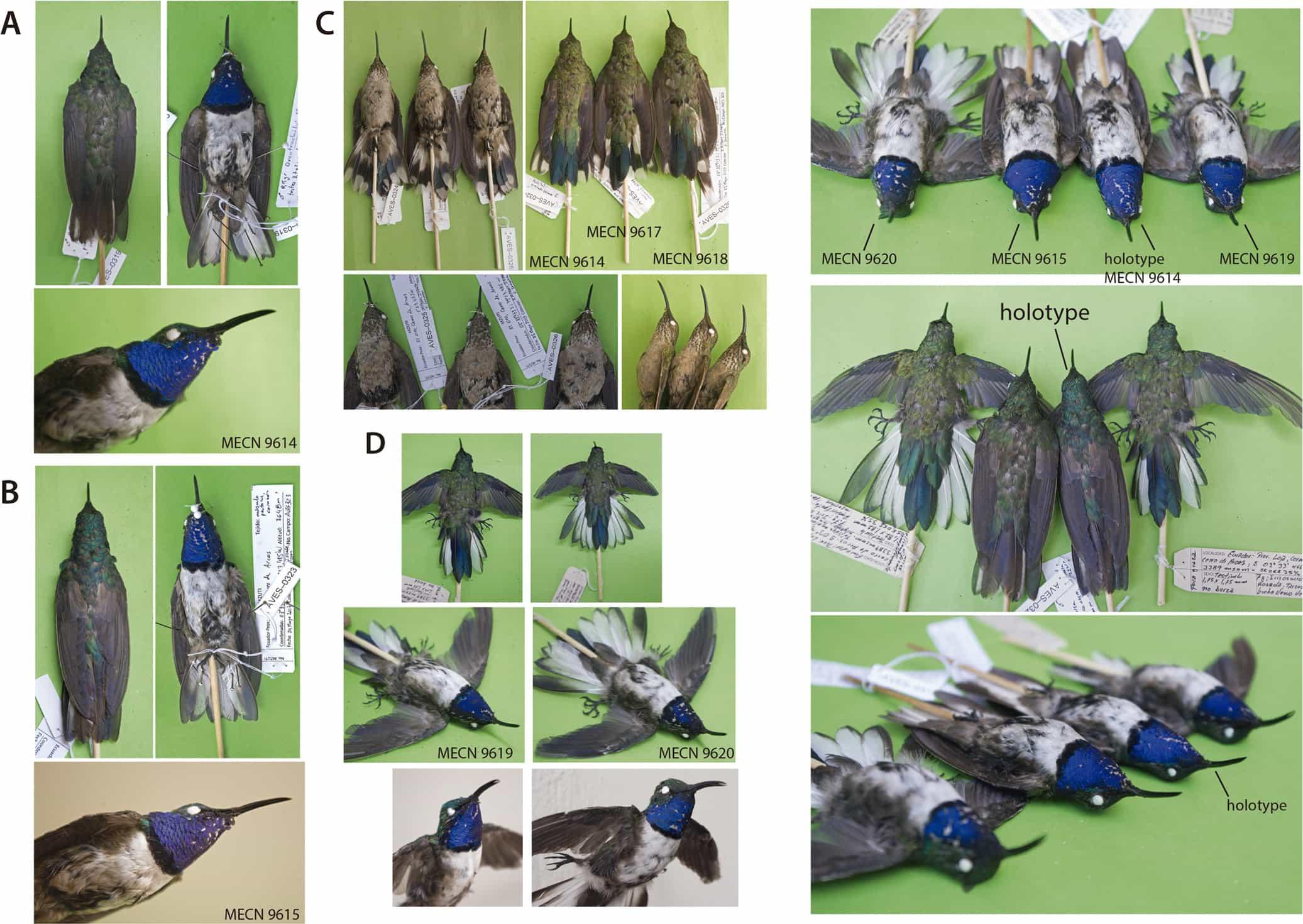 Ученые нашли новый вид колибри