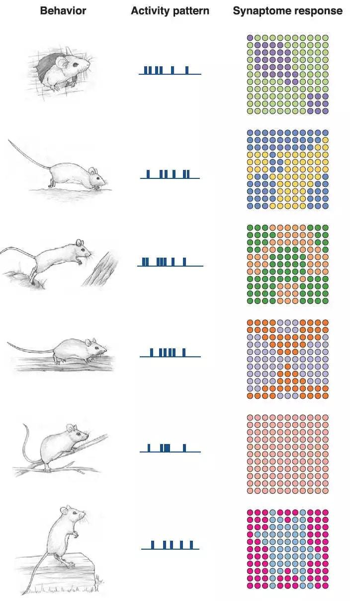 Подробная карта синапсов мозга приоткрыла завесу над загадкой мышления
