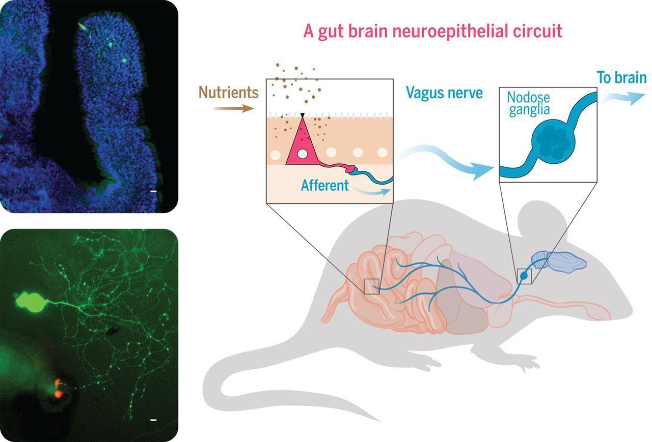 Быстрая связь: учёные выяснили, как кишечник напрямую связан с мозгом