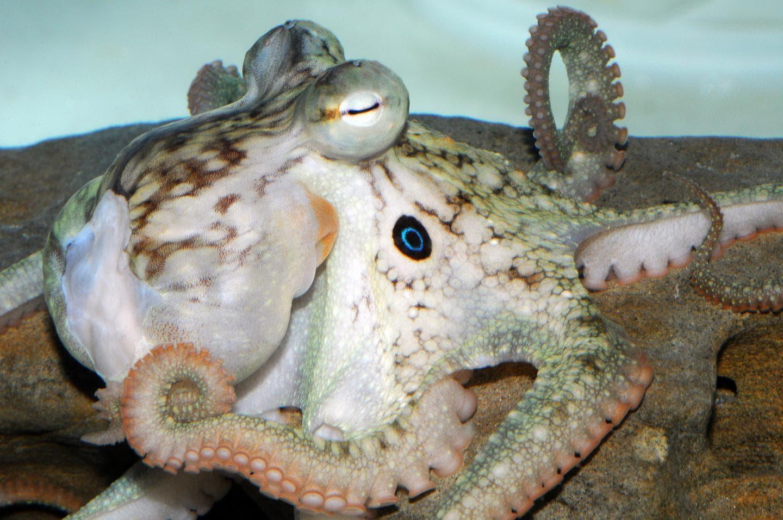 Осьминоги под экстази подружились с сородичами