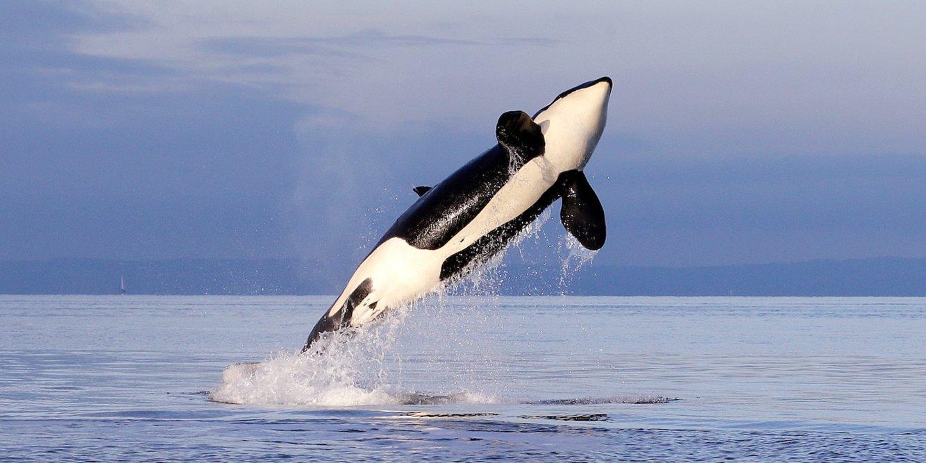 Белые акулы предпочли держаться от косаток подальше