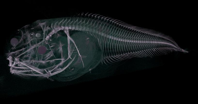 В Атакамском желобе обнаружили три новых вида рыб-слизней