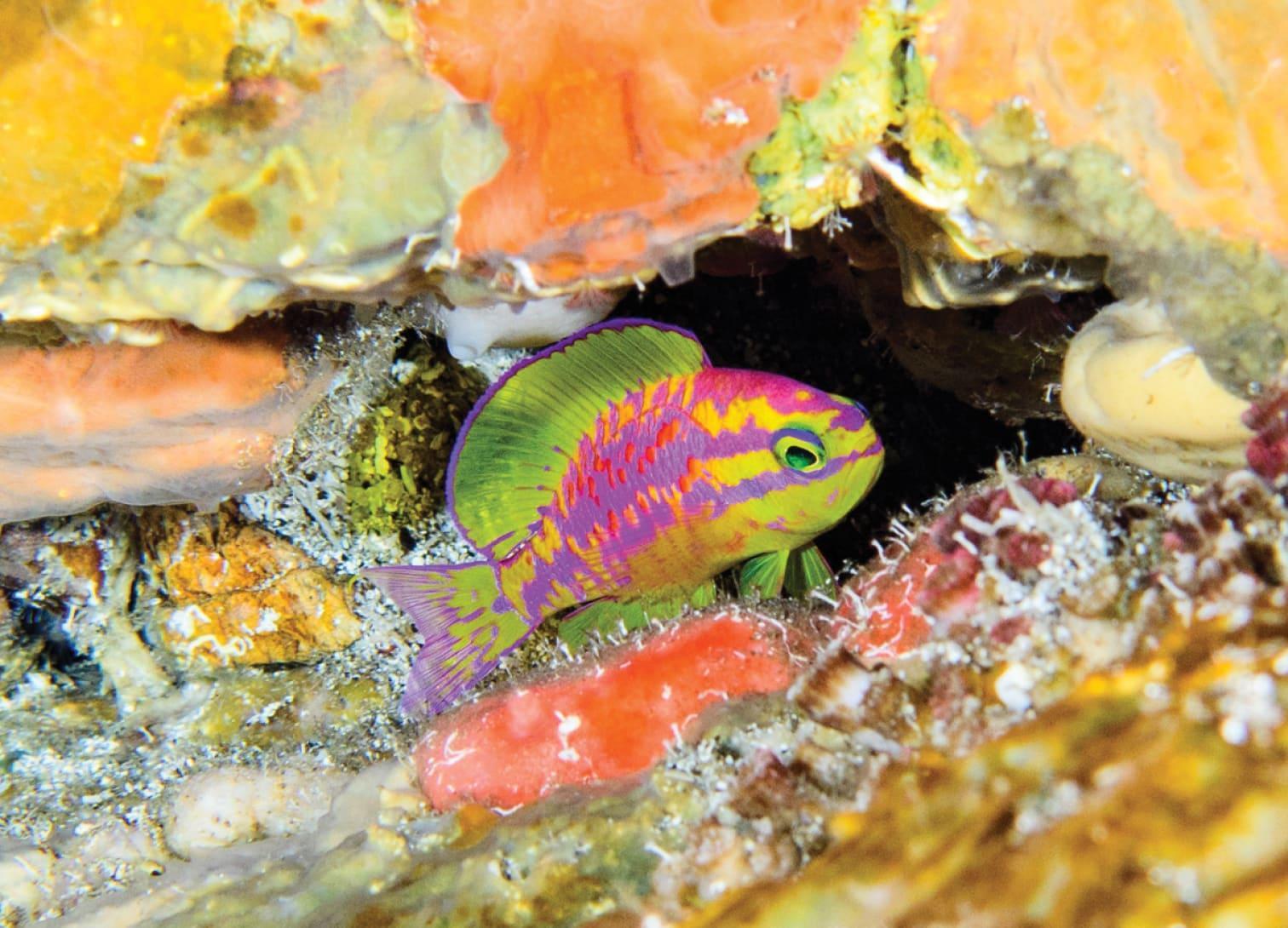 Рыбу кислотных цветов назвали в честь Афродиты