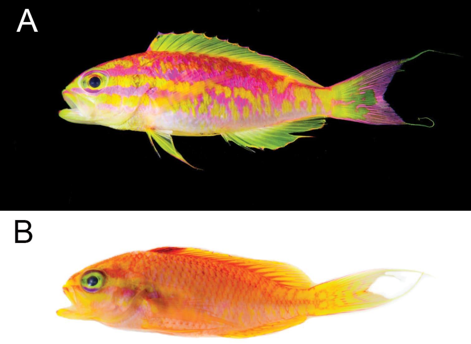 Самец и самка Tosanoides aphrodite