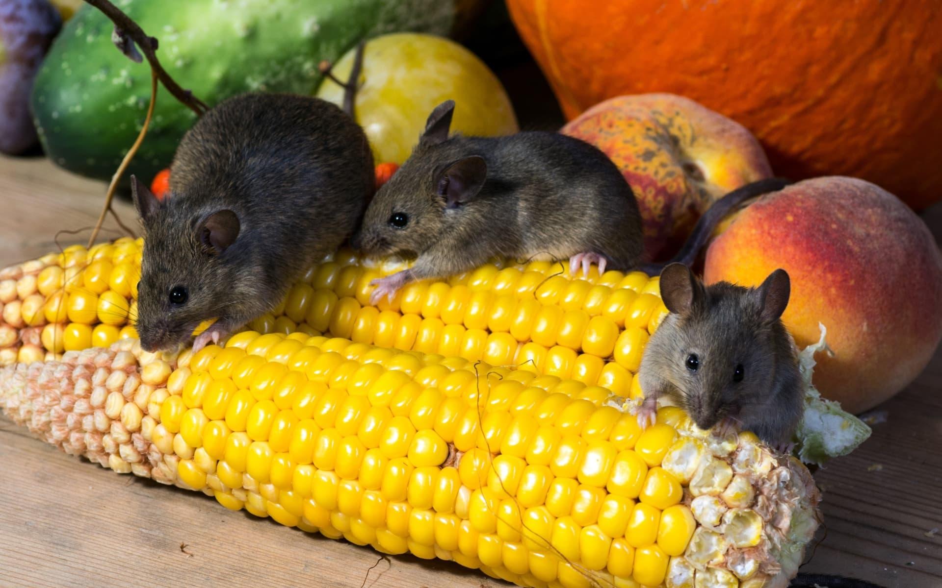 Кратковременное голодание оздоровило тонкую кишку мышей