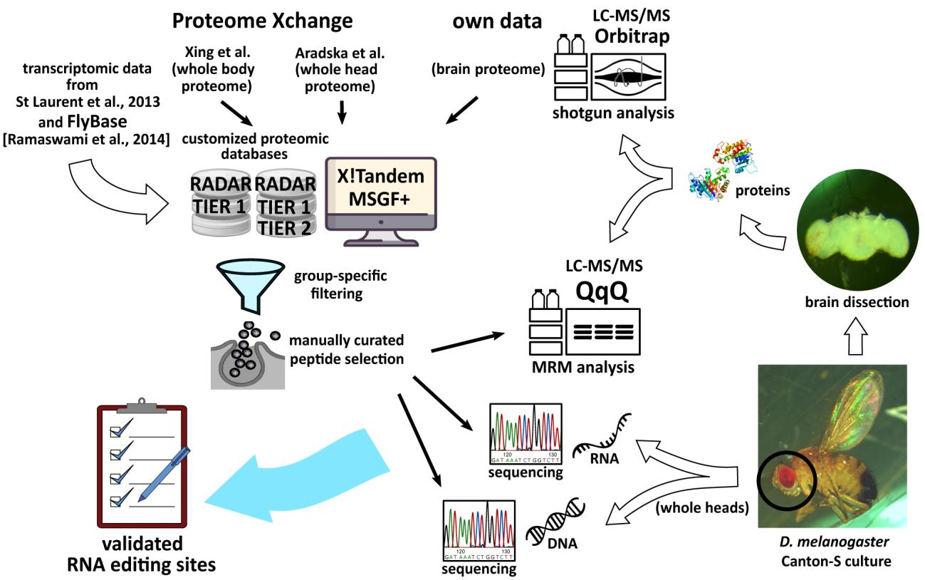 Природное редактирование матричных РНК в мозге плодовой мушки
