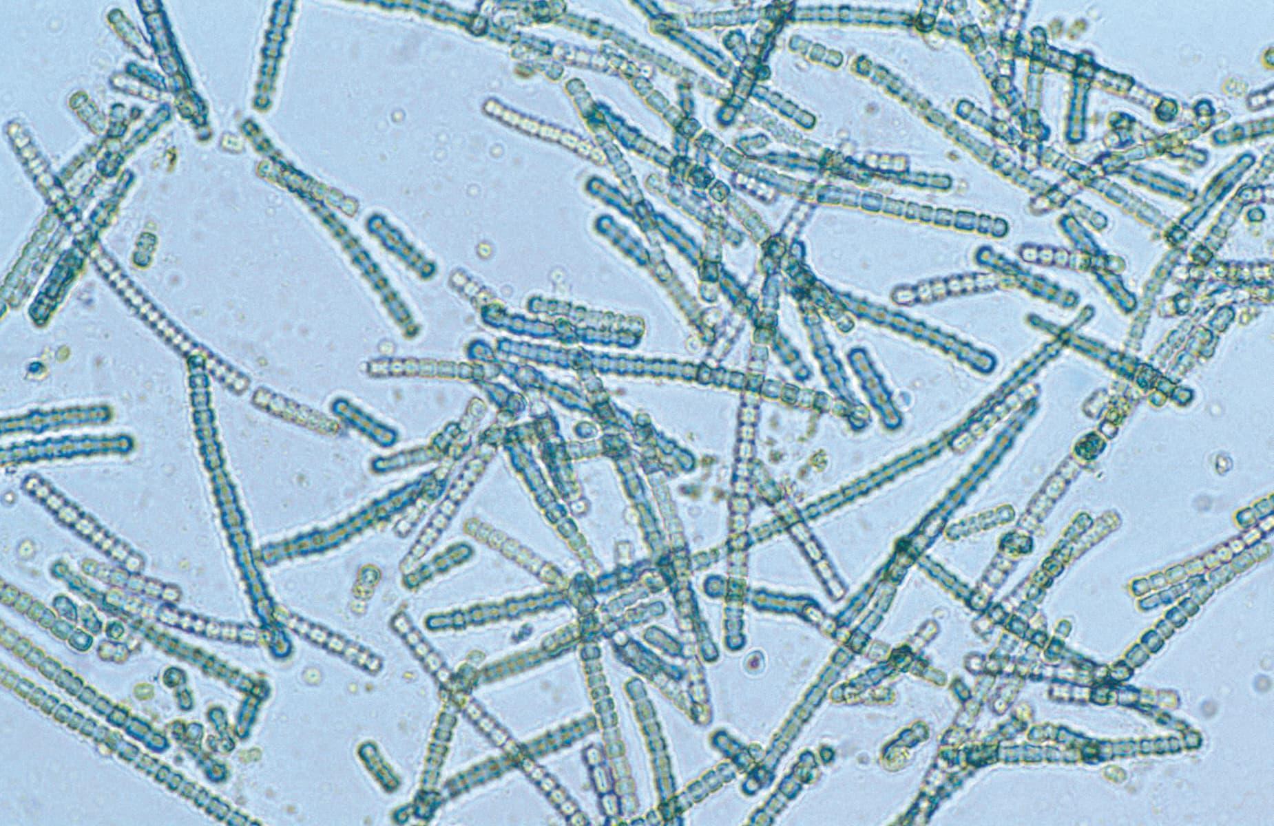 Дыхание кислородом бактериям пришлось переизобретать трижды