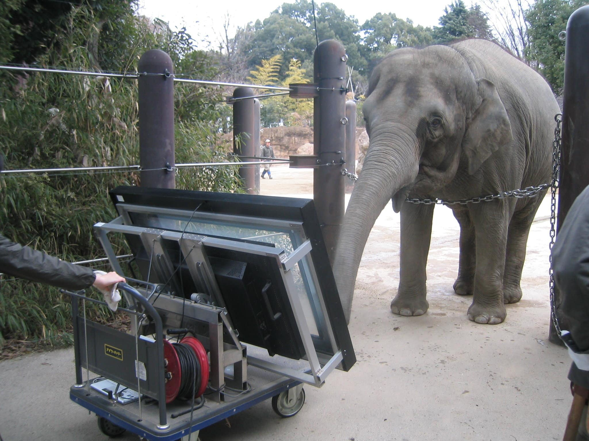 Самка азиатского слона оказалась хорошим счетоводом