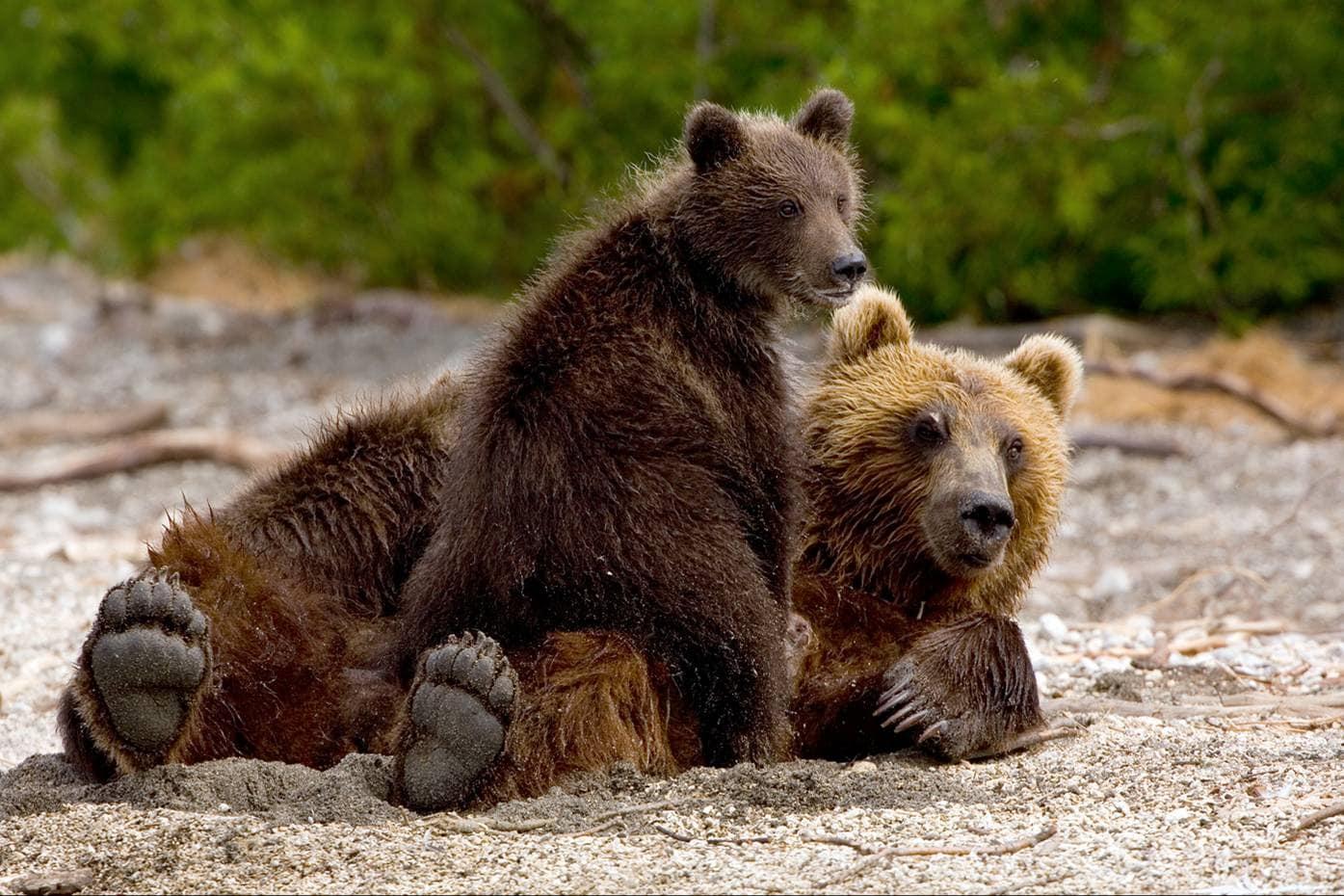 Бурые медведи научились пользоваться людьми для защиты детенышей