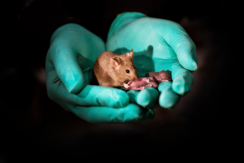 Мыши с двумя отцами впервые родились живыми