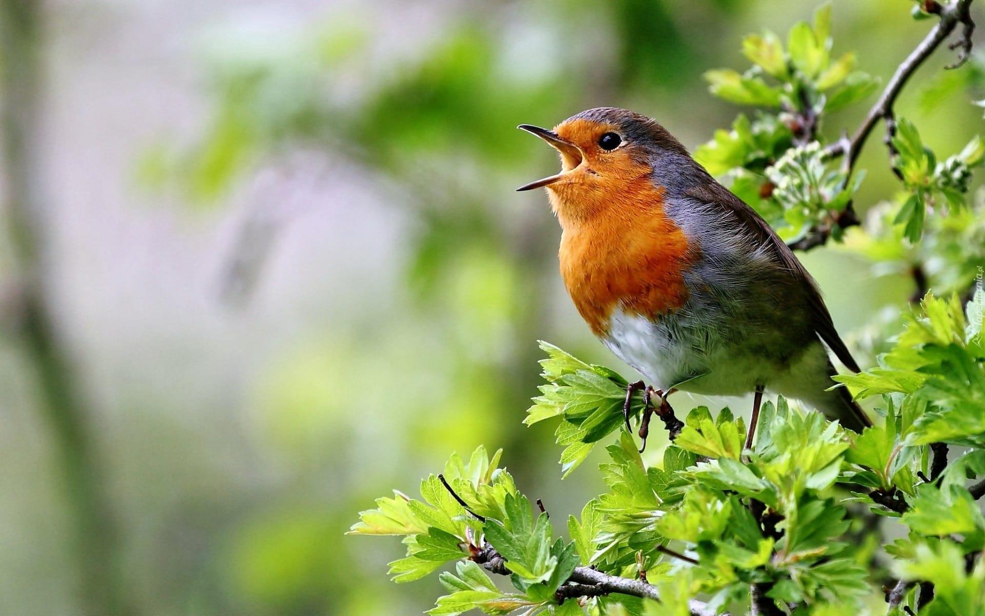 Как птицы получили «певчее горло»