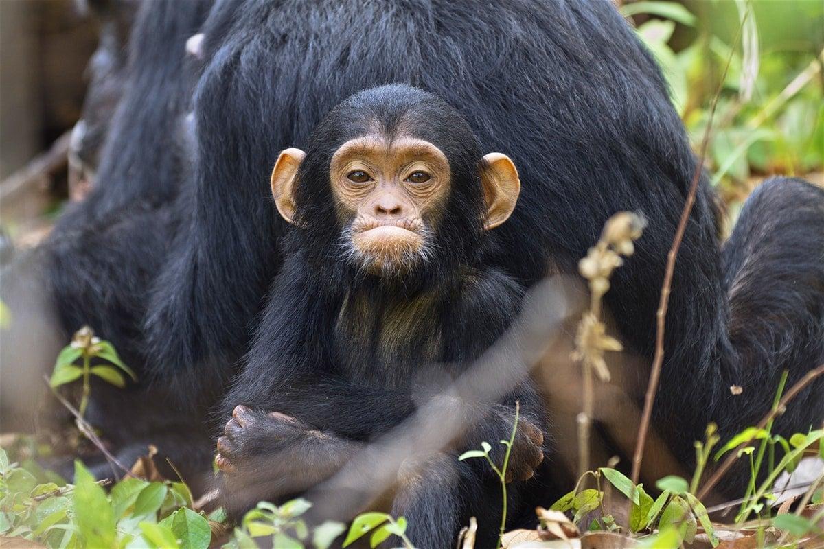 Самки шимпанзе распознали детоубийц среди самцов