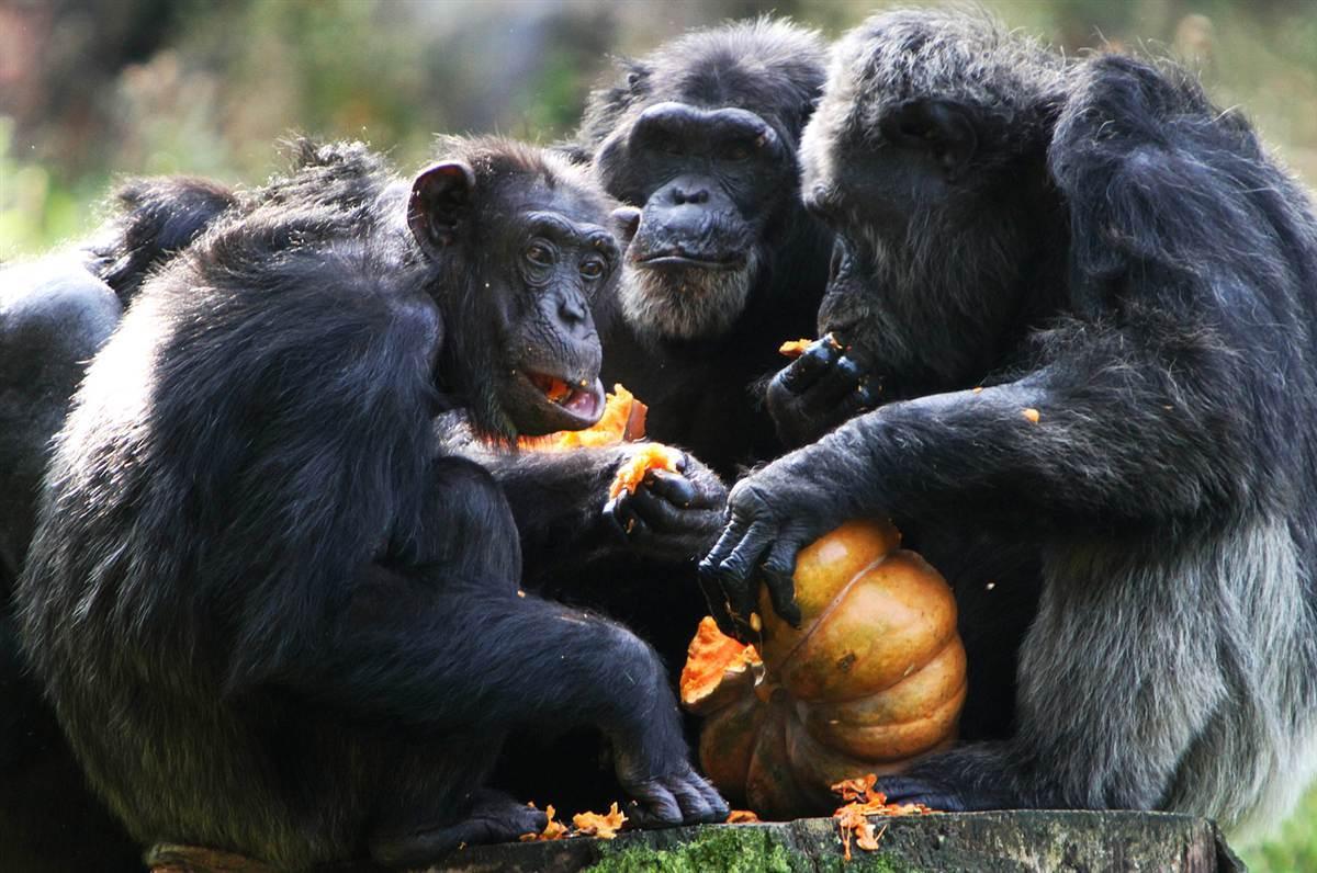 Шимпанзе поделились едой с друзьями