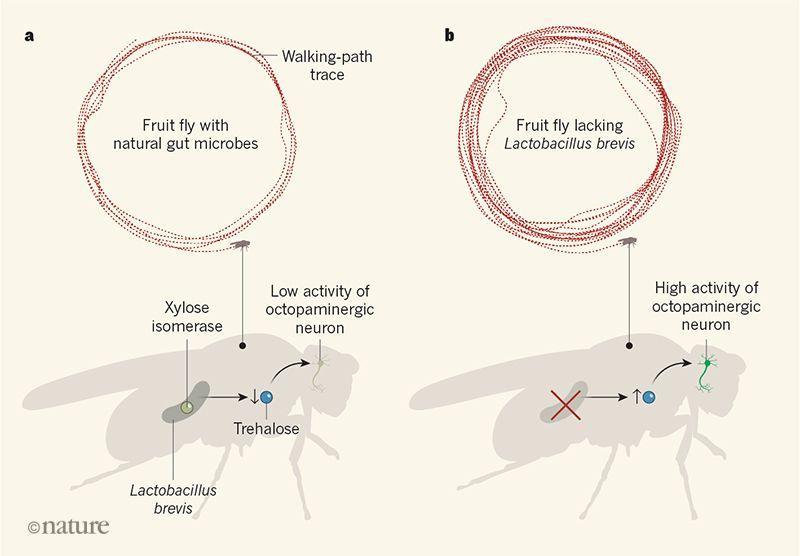 Отсутствие микробиома сделало дрозофил гиперактивными